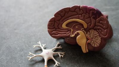 Ændringer i nervesystemet skaber styrke